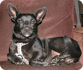 Chihuahua/Manchester Terrier Mix Dog for adoption in Washington, D.C. - Oliver