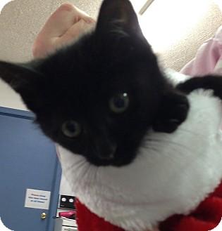 Domestic Shorthair Kitten for adoption in Aiken, South Carolina - Pepper