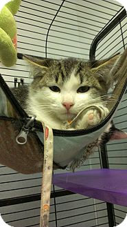 Domestic Mediumhair Cat for adoption in Richboro, Pennsylvania - Coolio
