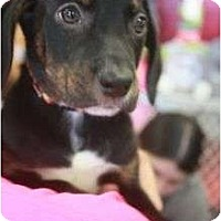Adopt A Pet :: Rolo - Arlington, TX