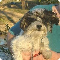 Adopt A Pet :: Beau - North Little Rock, AR