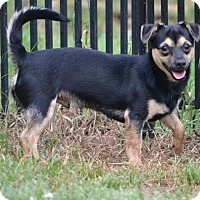 Yorkie, Yorkshire Terrier/Chihuahua Mix Dog for adoption in Rock Hill, South Carolina - Goofy