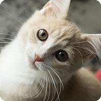 Adopt A Pet :: Mochi - Chicago, IL