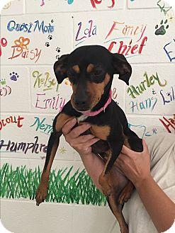 Miniature Pinscher Mix Dog for adoption in Lockhart, Texas - Penny