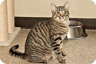 Domestic Shorthair Kitten for adoption in Cashiers, North Carolina - Andy