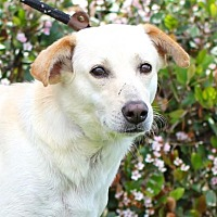 Adopt A Pet :: Labby - San Diego, CA