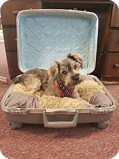 Schnauzer (Miniature) Dog for adoption in PT ORANGE, Florida - MOLLY