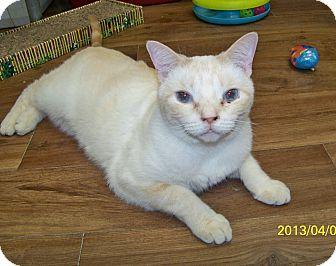 Siamese Cat for adoption in Dover, Ohio - Doodle
