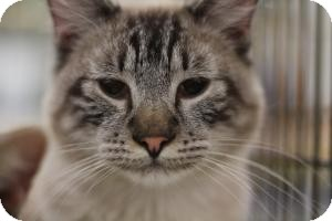 Siamese Cat for adoption in Sacramento, California - Tito