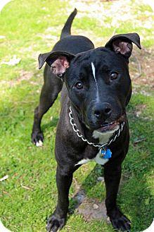 Terrier (Unknown Type, Medium)/Labrador Retriever Mix Dog for adoption in Tinton Falls, New Jersey - Miller