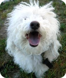 Miniature Poodle Mix Dog for adoption in Cheyenne, Wyoming - Coco