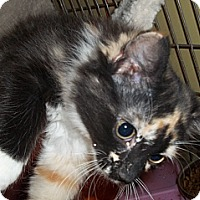 Adopt A Pet :: Calico - Long Haired - Acme, PA