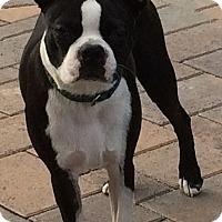 Adopt A Pet :: Bo - Temecula, CA