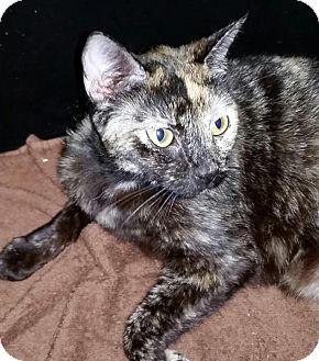 Domestic Mediumhair Cat for adoption in Orlando-Kissimmee, Florida - Dashy