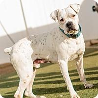 Adopt A Pet :: Dillon - Hesperia, CA