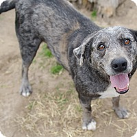 Catahoula Leopard Dog/Cattle Dog Mix Dog for adoption in Iola, Texas - Sara