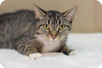 Domestic Shorthair Cat for adoption in Midland, Michigan - Moonstone - $10!