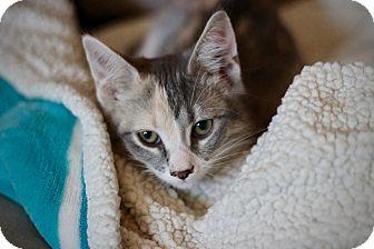 Calico Kitten for adoption in San Antonio, Texas - Gracie