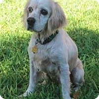 Adopt A Pet :: Niko - Austin, TX