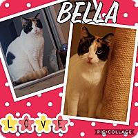 Calico Cat for adoption in Keller, Texas - Bella