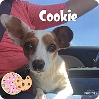 Adopt A Pet :: Cookie - Snyder, TX
