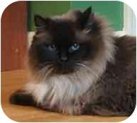 Ragdoll Cat for adoption in Keizer, Oregon - Dharma