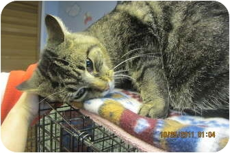 Domestic Shorthair Cat for adoption in Sterling Hgts, Michigan - Sasquatch (likes football)