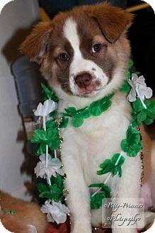 St. Bernard Mix Puppy for adoption in Garden City, Michigan - Clover