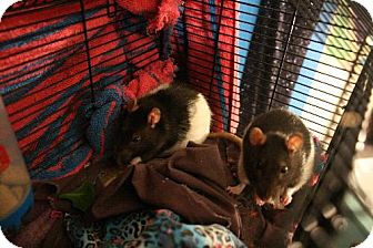 Rat for adoption in Boise, Idaho - Squeegey