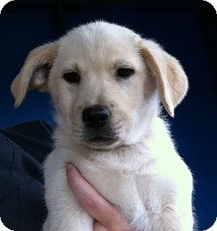 Labrador Retriever/Border Collie Mix Puppy for adoption in Gainesville, Florida - Whitley
