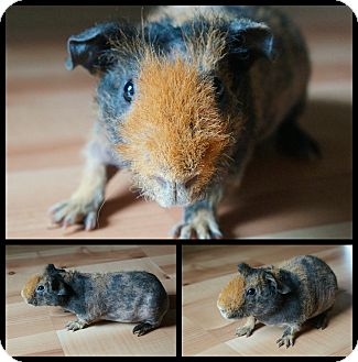 Guinea Pig for adoption in Brooklyn Park, Minnesota - Buster