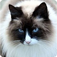 Adopt A Pet :: COOKIE - Crescent City, CA