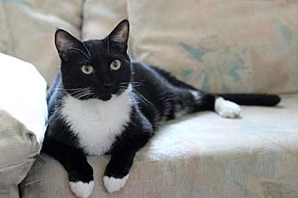 Domestic Shorthair Cat for adoption in Spring Lake, New Jersey - Jimmy