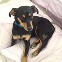 Adopt A Pet :: Miri - Knoxville, TN