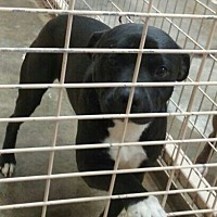 Labrador Retriever/Pit Bull Terrier Mix Dog for adoption in Odessa, Texas - Southpaw
