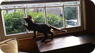 Domestic Longhair Kitten for adoption in Charlotte, North Carolina - Hope