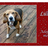 Adopt A Pet :: LILLY - Ventnor City, NJ
