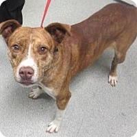 Adopt A Pet :: Red - Lincolnton, NC