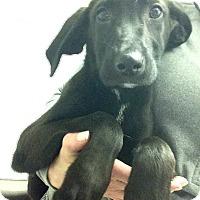 Adopt A Pet :: Jill Puppy - Pompton Lakes, NJ