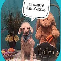 Adopt A Pet :: Bailey - Homer, NY