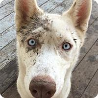 Adopt A Pet :: Whoski - Lafayette, LA