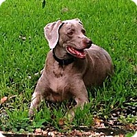 Adopt A Pet :: Saylor - Sarasota, FL