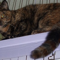 Domestic Shorthair Cat for adoption in Whittier, California - Sharla