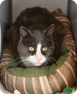 Domestic Mediumhair Cat for adoption in Gardnerville, Nevada - Boots