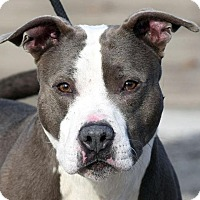 American Pit Bull Terrier Mix Dog for adoption in New Haven, Connecticut - FOREMAN