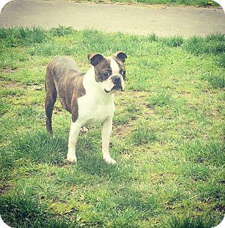 Boston Terrier/French Bulldog Mix Dog for adoption in Seattle, Washington - Molly Moon