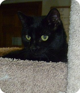 Domestic Shorthair Cat for adoption in Hamburg, New York - Page