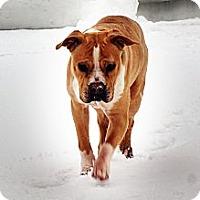 Adopt A Pet :: DUKE the beefcake - Durham, NH