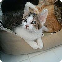 Adopt A Pet :: Clover - Sterling Hgts, MI