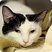 Adopt A Pet :: Ilke - Chicago, IL